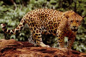 Jaguar sedd från sidan