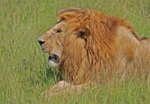 Ett stort Lejon