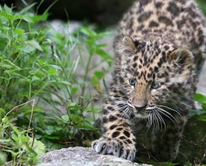 En liten Leopardunge på jakt