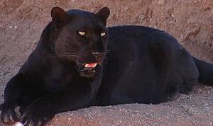 Panter är en svart version av andra kattdjur