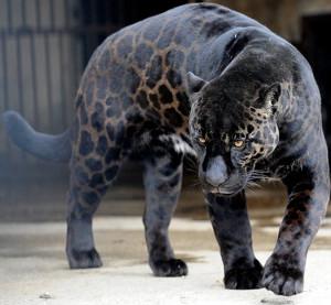Jaguar med svart päls