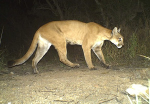 En Puma