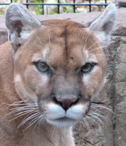 Ansiktet på en Puma