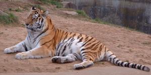En Sibirisk Tiger i fångenskap