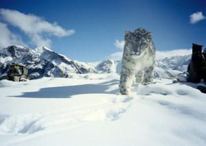 En Snöleopard i snön