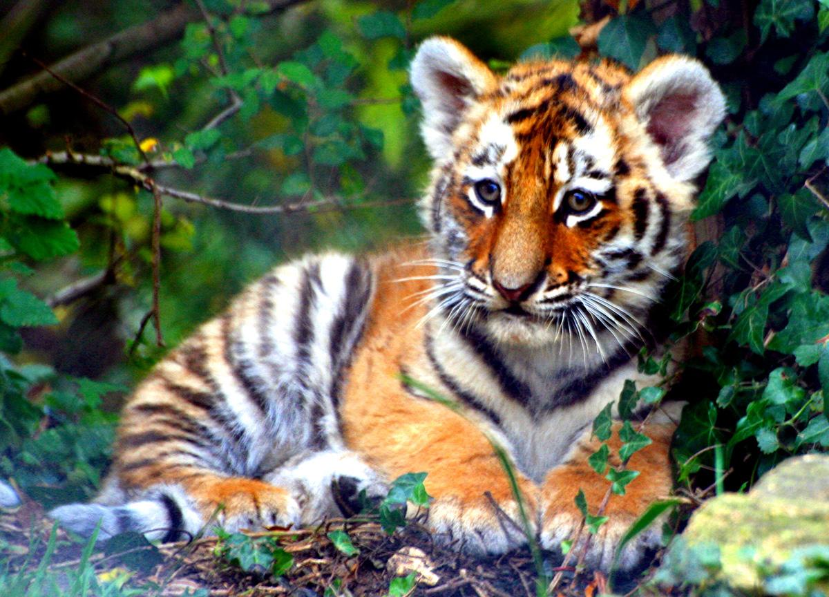 tigerarter