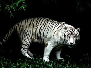 En vit Tiger